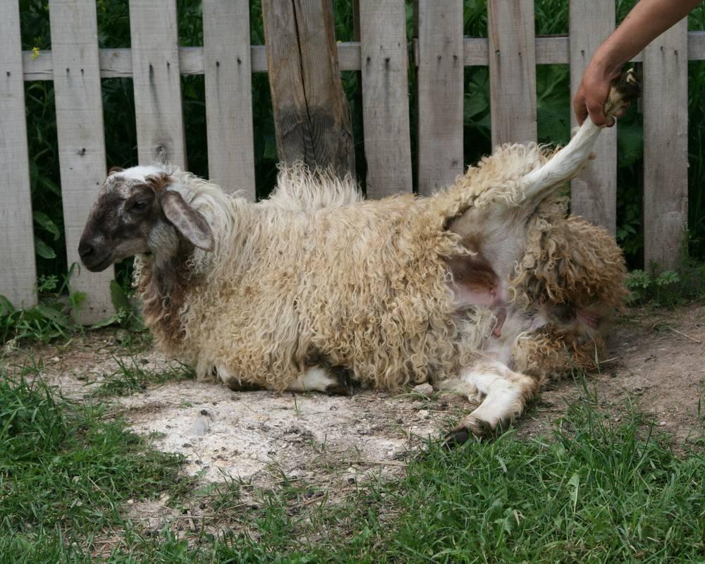 Характеристики эдильбаевской породы овец