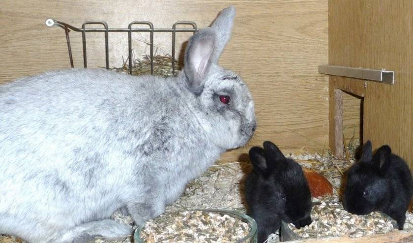 Крольчиха съела крольчат что делать - декоративные кролики
