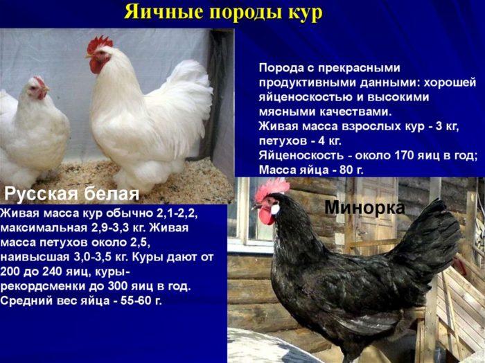 Мясные породы кур с фото и описанием топ 10, видео советы
