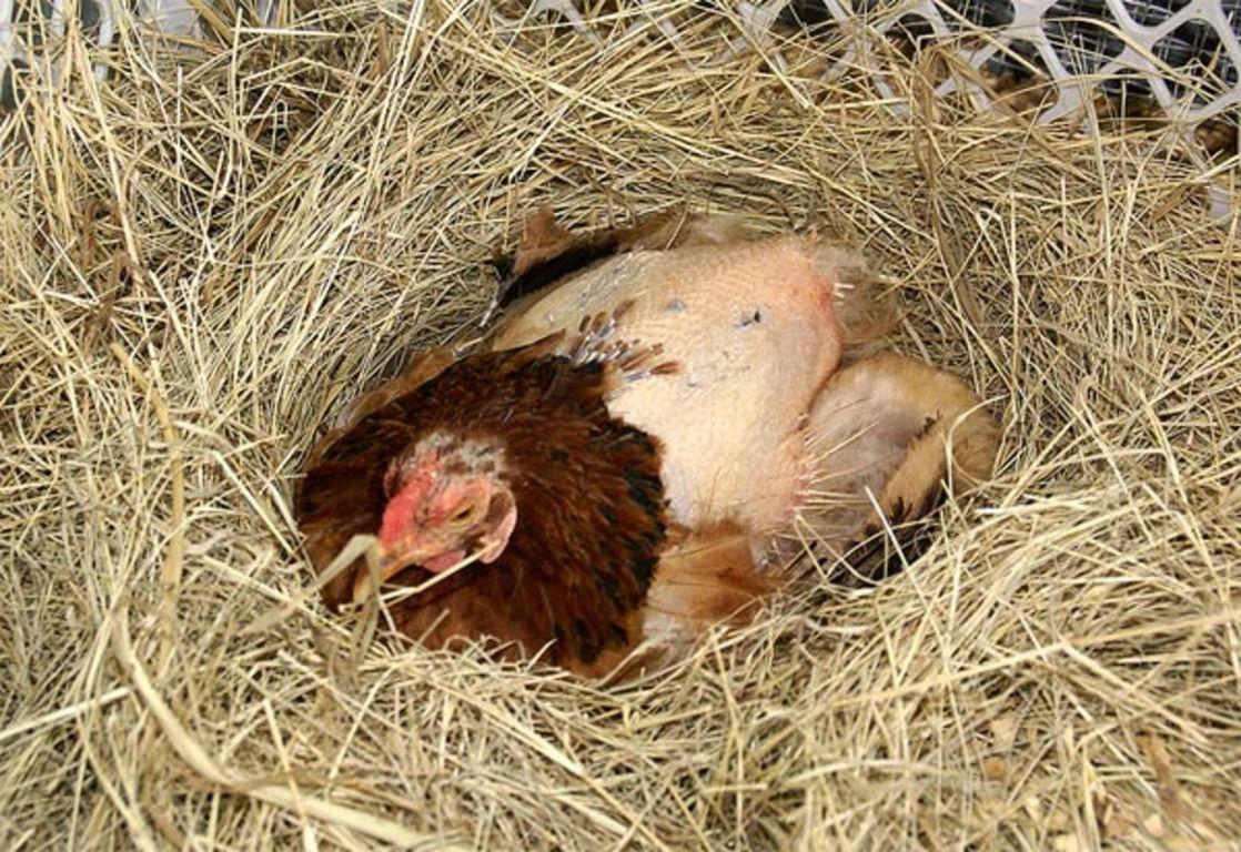 Линька у кур – как помочь птицам перенести осенний «перьепад»