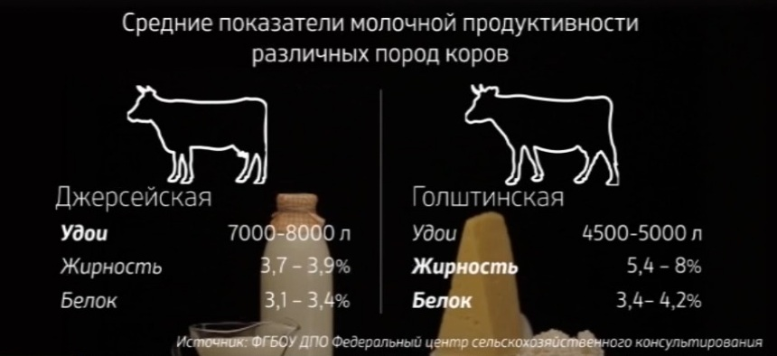 Джерсейская порода коров: история возникновения и характеристика, плюсы и минусы содержания