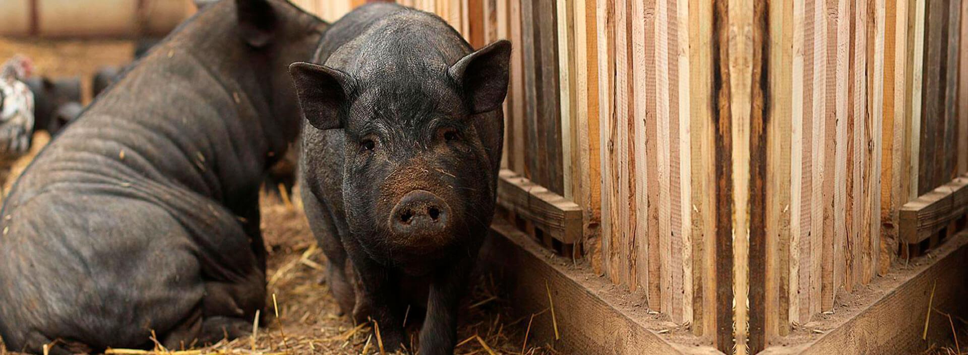 Вьетнамские свиньи - особенности и рекомендации по содержанию и разведению