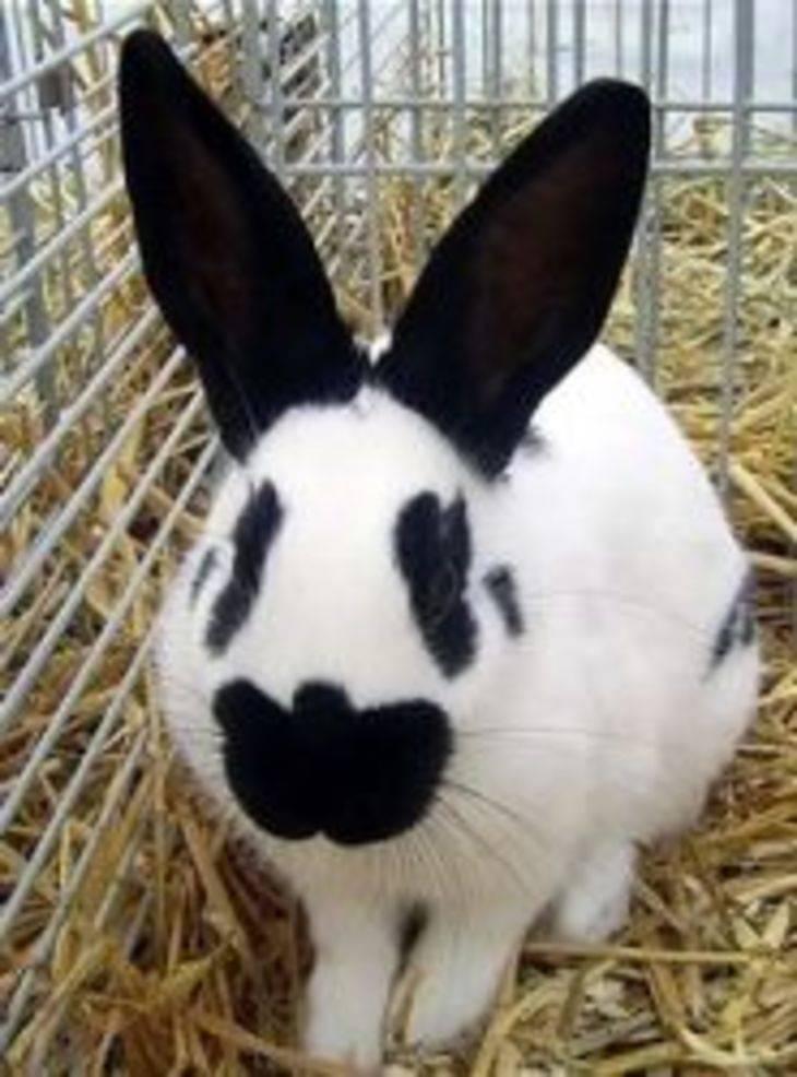 Кролик бабочка: разновидности, нюансы разведения и содержания