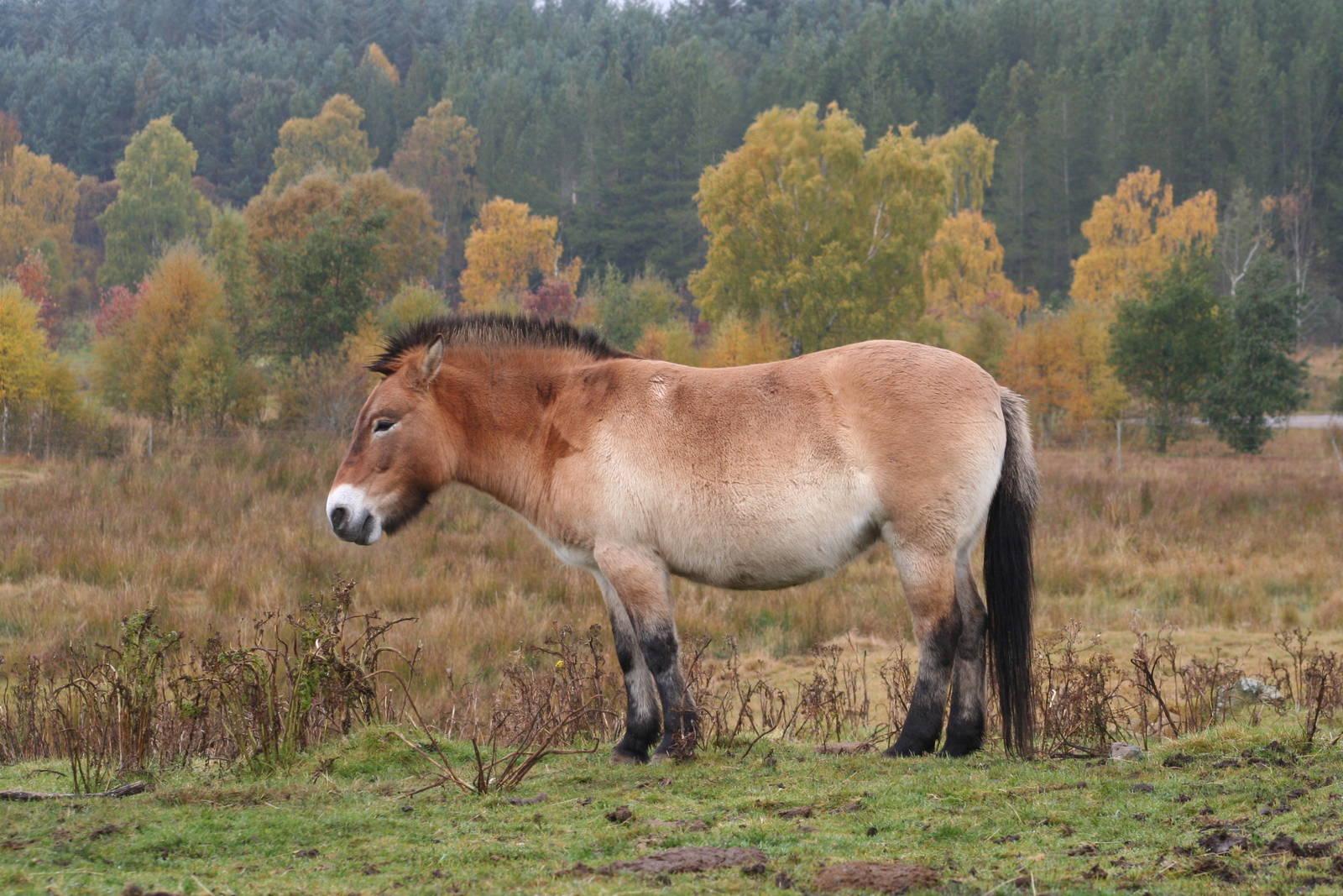 Лошадь пржевальского - интересные факты
