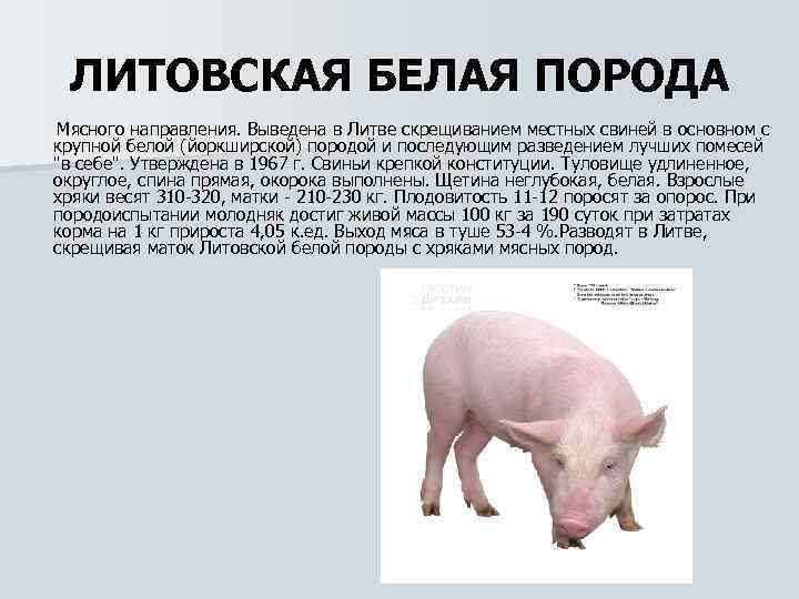 Черная свинья: характеристика породы, плюсы и минусы