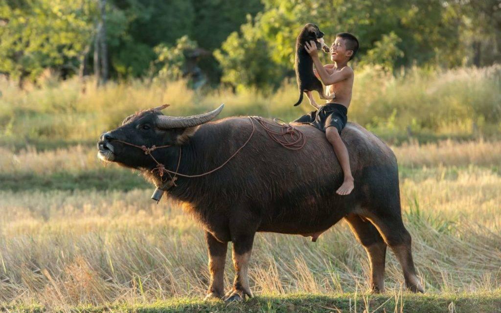 Кастрация быков: открытым, перкутанным и химическим способами