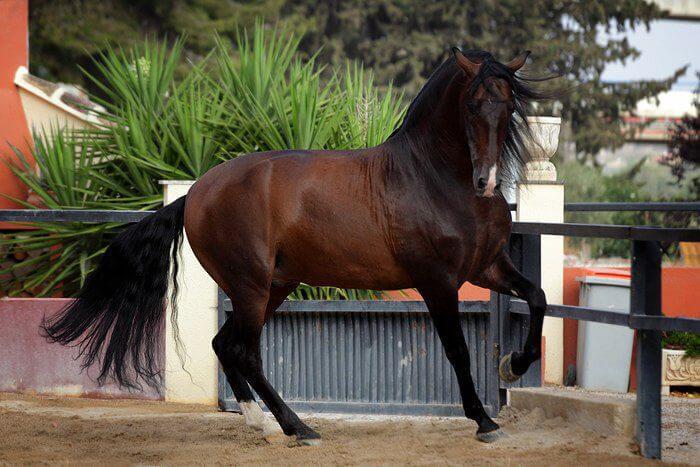 Обзор породы андалузская лошадь: описание и полная характеристика с фото