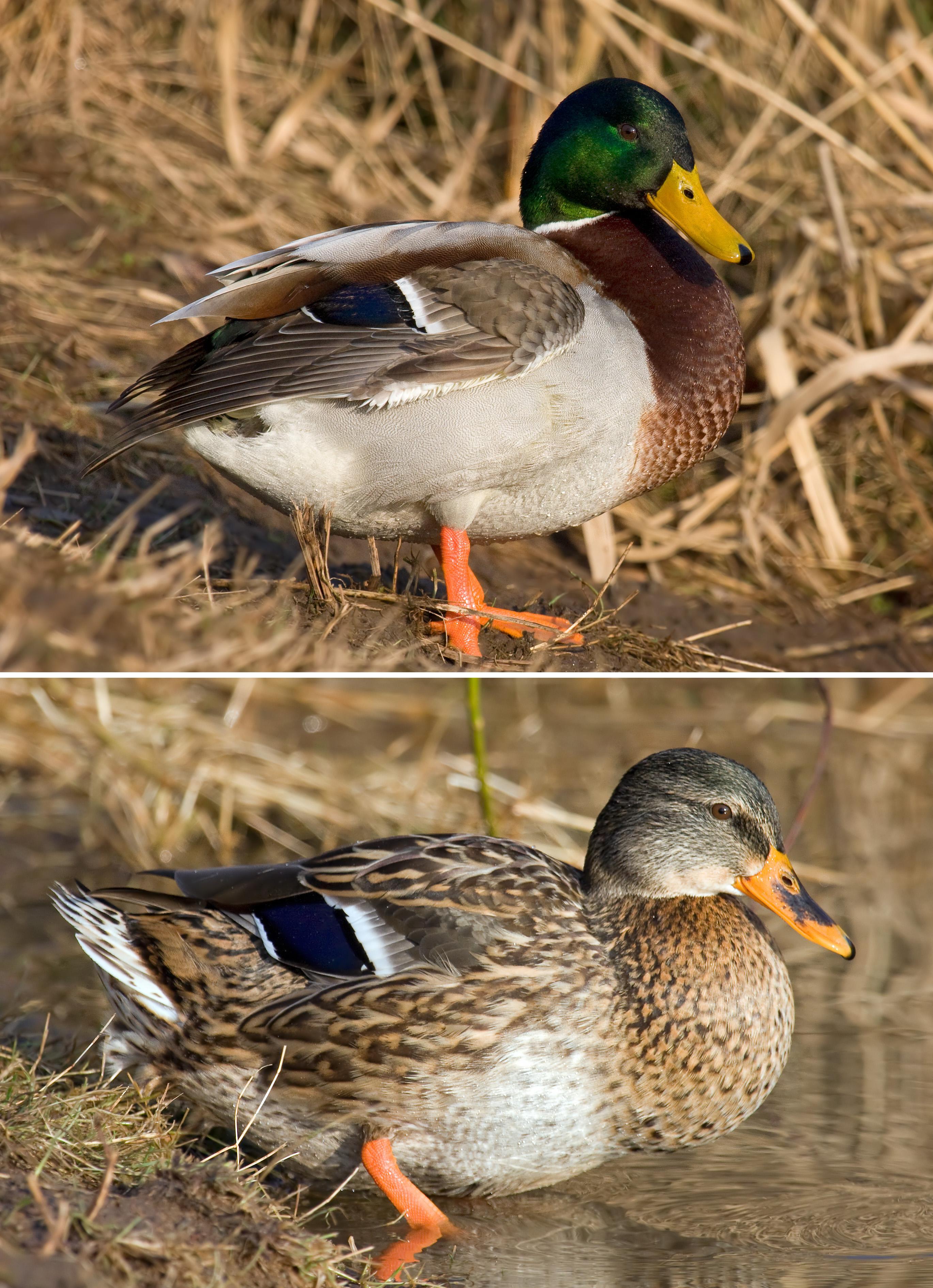 Чем отличается самец от самки. фото селезня и утки - truehunter.ru