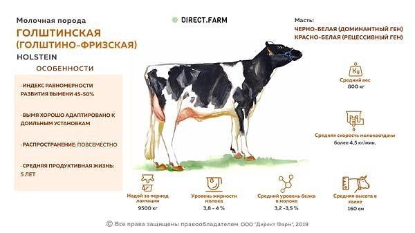 Молочное животноводство: породы и особливосты содержания — cельхозпортал