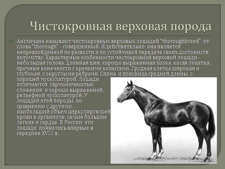 Пинто — описание и фото породы лошади | мои лошадки