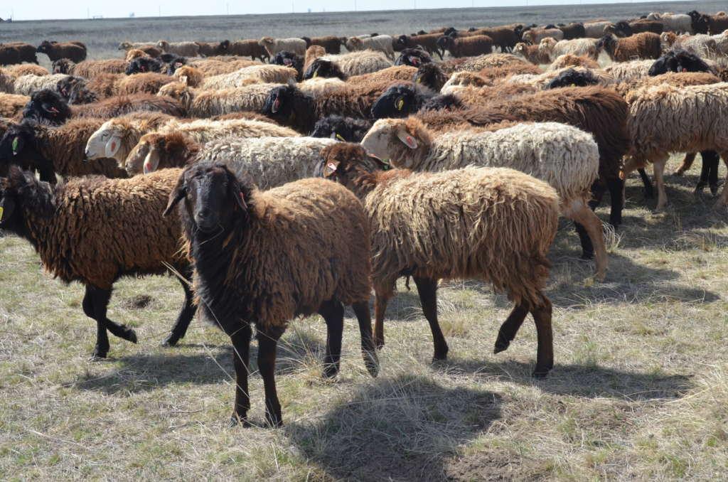 ᐉ курдючные овцы - разведение и советы по содержанию - zooon.ru