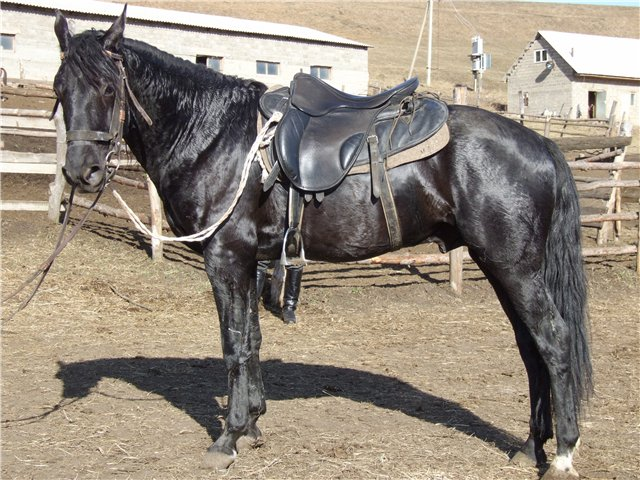 Карачаевская порода лошадей (45 фото): отличия от кабардинской, история возникновения англо-карачаевских коней