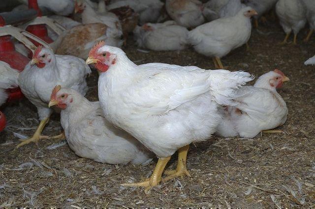 Несутся бройлеры или нет. как получить яйца от кур. яйценоские породы домашней птицы