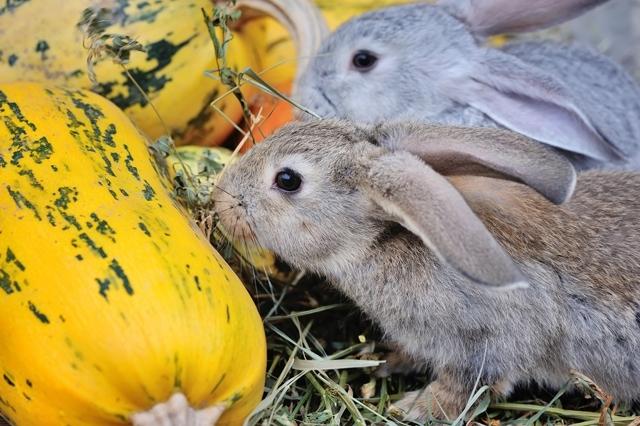 Можно ли кроликам кабачки: в чём польза и вред, как давать