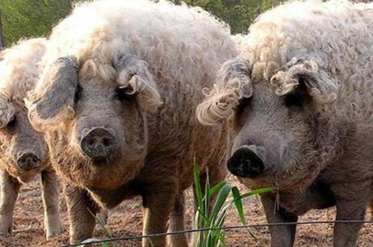 Волосатые породы свиней и все их характеристики