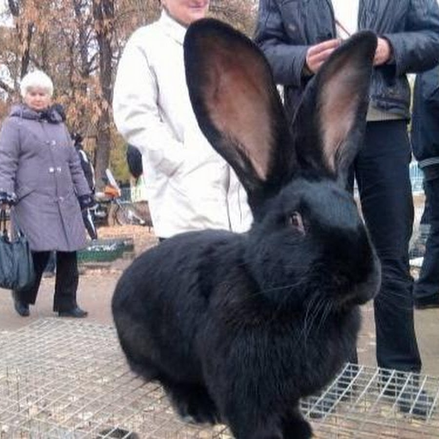 Ризен: кролики породы немецкий великан