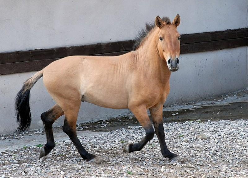 Интересные факты о лошади пржевальского