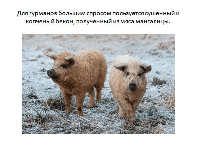 Свиньи породы пьетрен: характеристика и особенности выращивания