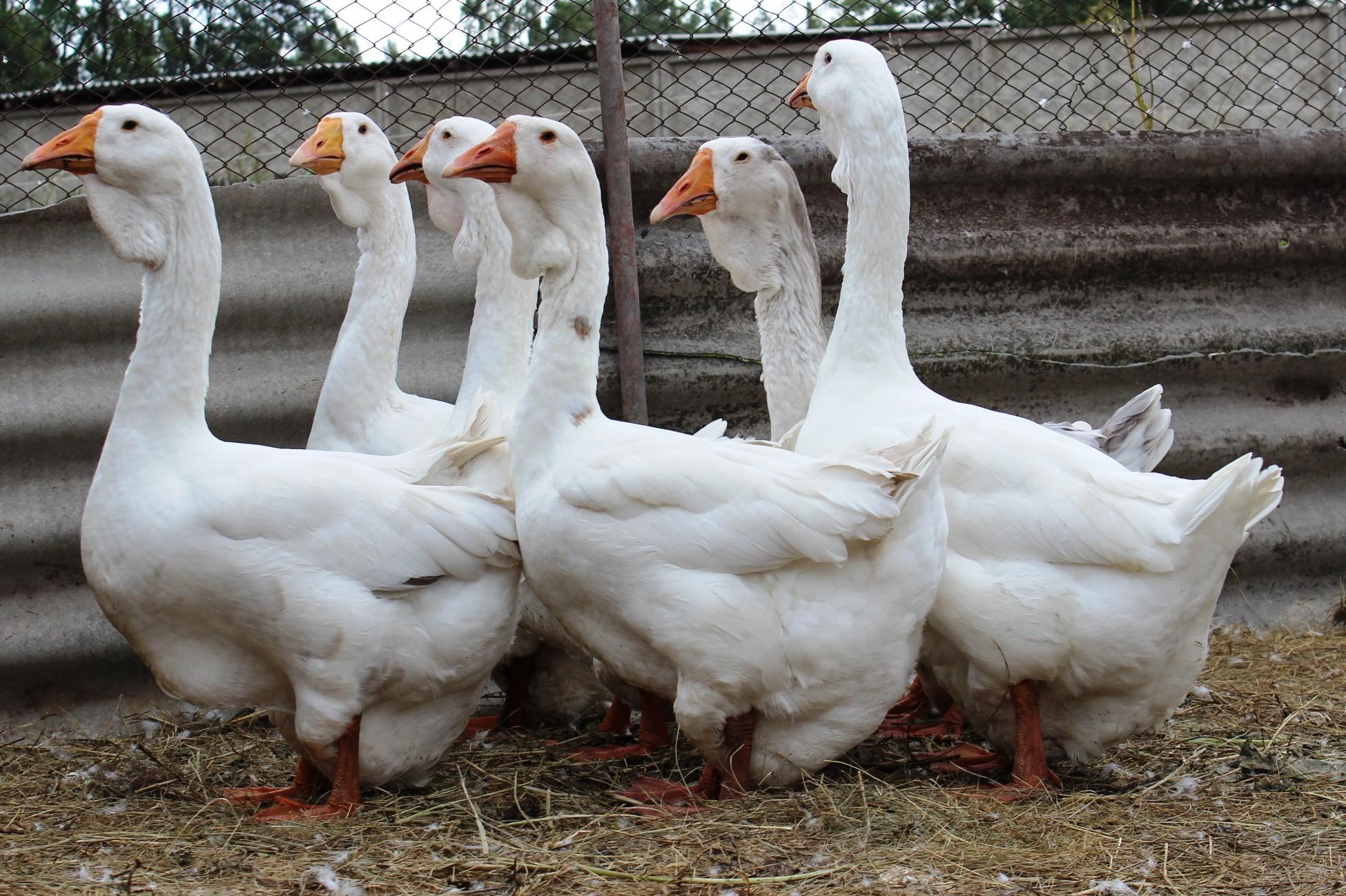 Итальянские гуси: описание, уход и содержание, кормление и разведение