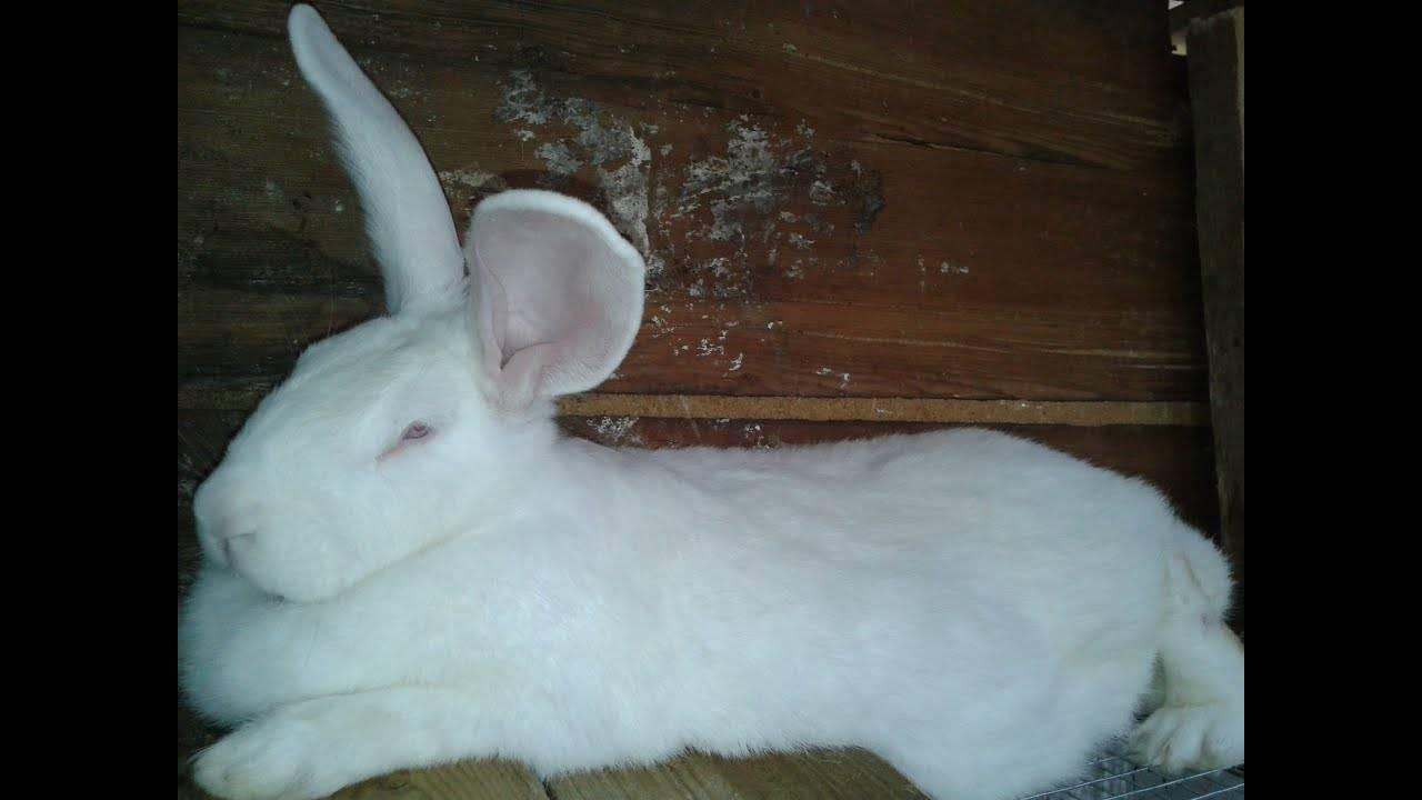 Кролик «строкач» или немецкий пестрый великан
