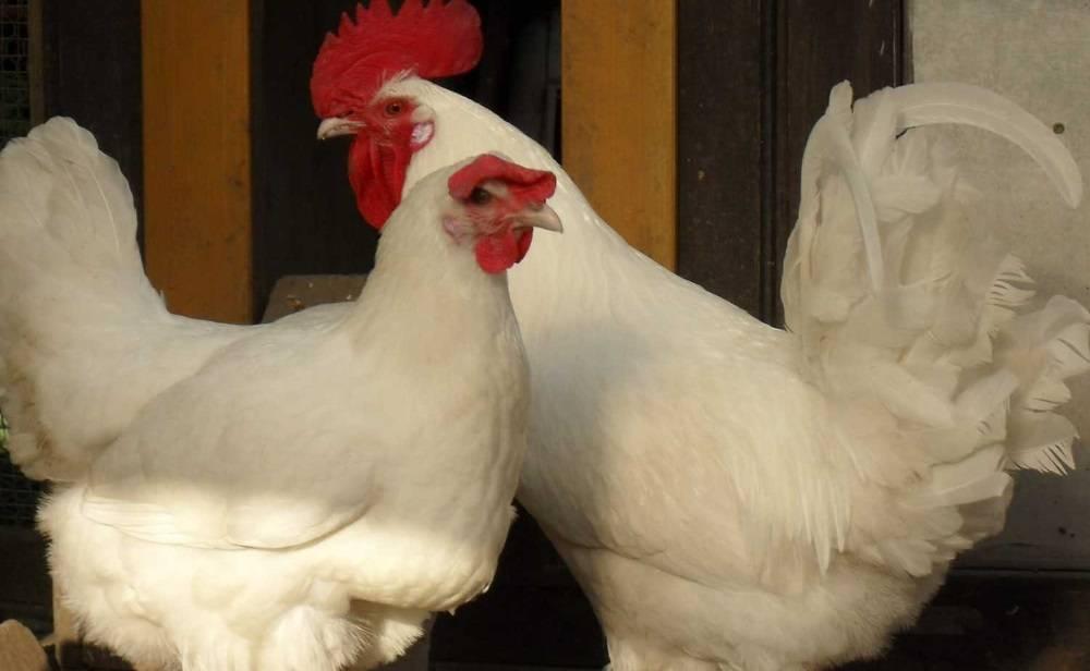 Бресс гальская порода кур: всё о разведении в домашних условиях
