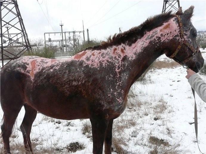 Болезни лошадей: симптомы, лечение, препараты