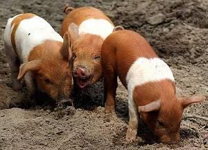 Порода свиней дюрок: фото, описание и отзывы о ней