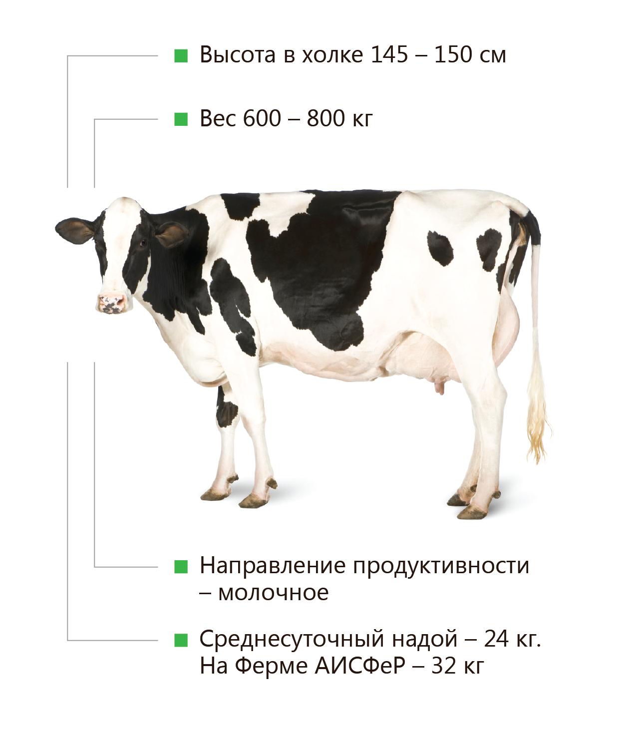 Голштинская порода коров: характеристика, описание, фото животных с черно-пестрым и иным окрасом, и сколько стоит голштинизированный вид крс?