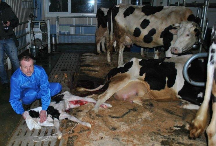 ✅ лечение послеродового пареза у коров (что делать в случае болезни коровы) - tehnomir32.ru