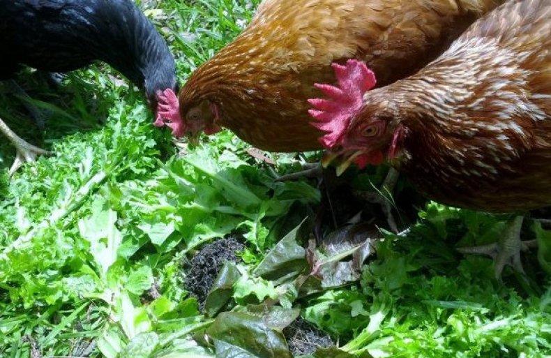 Можно ли кормить курицу чистотелом, молочаем, снитью (какую траву любят куры)