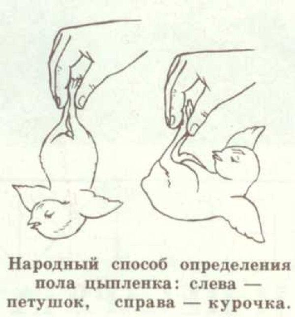 Определяем пол цыпленка: как отличить петушка от курочки в суточном, недельном и месячном возрасте | golubevod.net