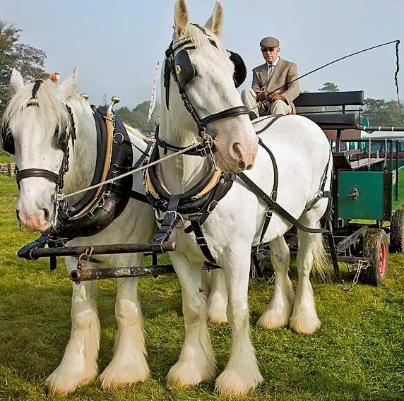 Лошади тяжеловозы - описание. тяжеловозы породы лошадей