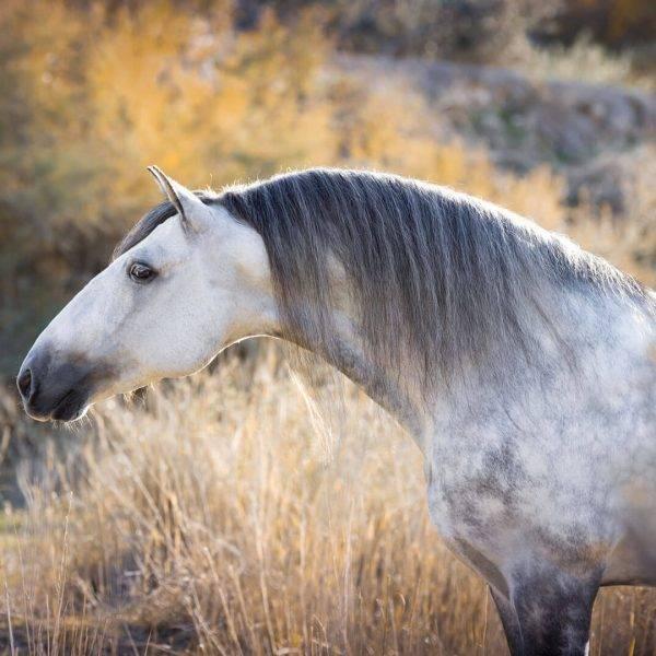 Андалузская лошадь - andalusian horse - qwe.wiki