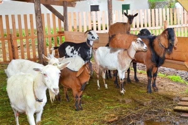 Как содержать коз в зимнее время в помещении без отопления