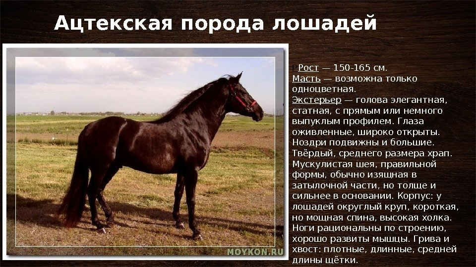 Все о современных породах лошадей: виды, описание и история создания, особенности характера породистых лошадей