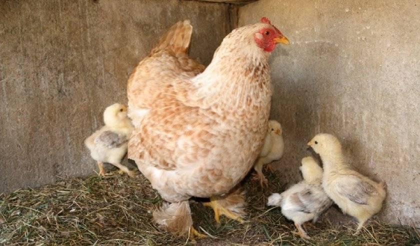 Порода кур фавероль (48 фото): описание лососевой и других разновидностей. как различить пол кур? отзывы владельцев цыплят