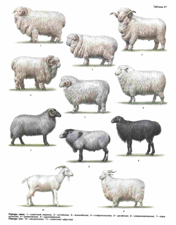 Мясные породы овец: разведение мясного направления