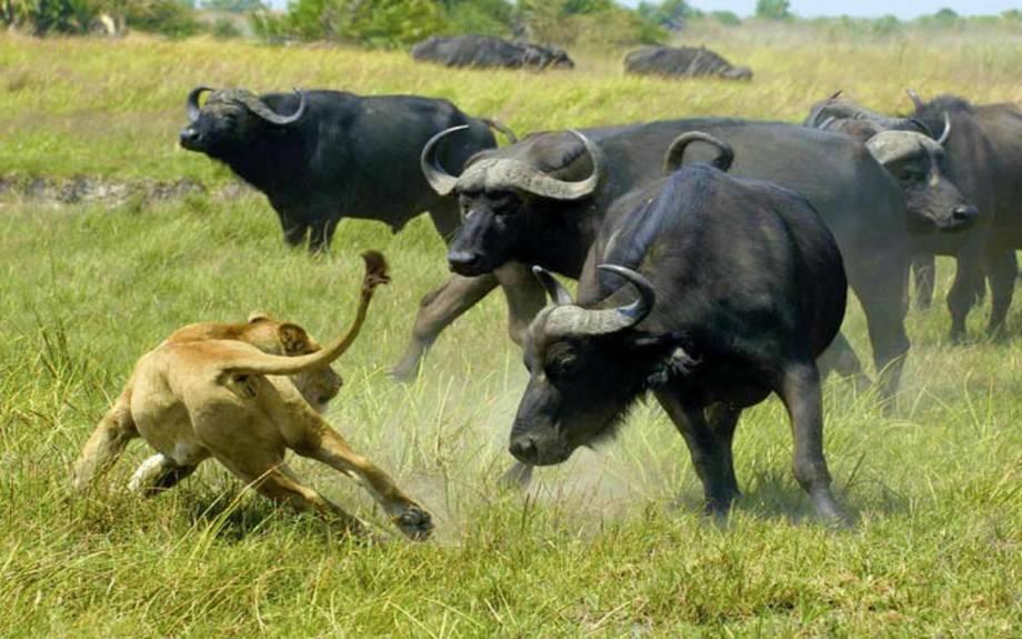 Азиатский буйвол: как выглядит, где живет, что ест