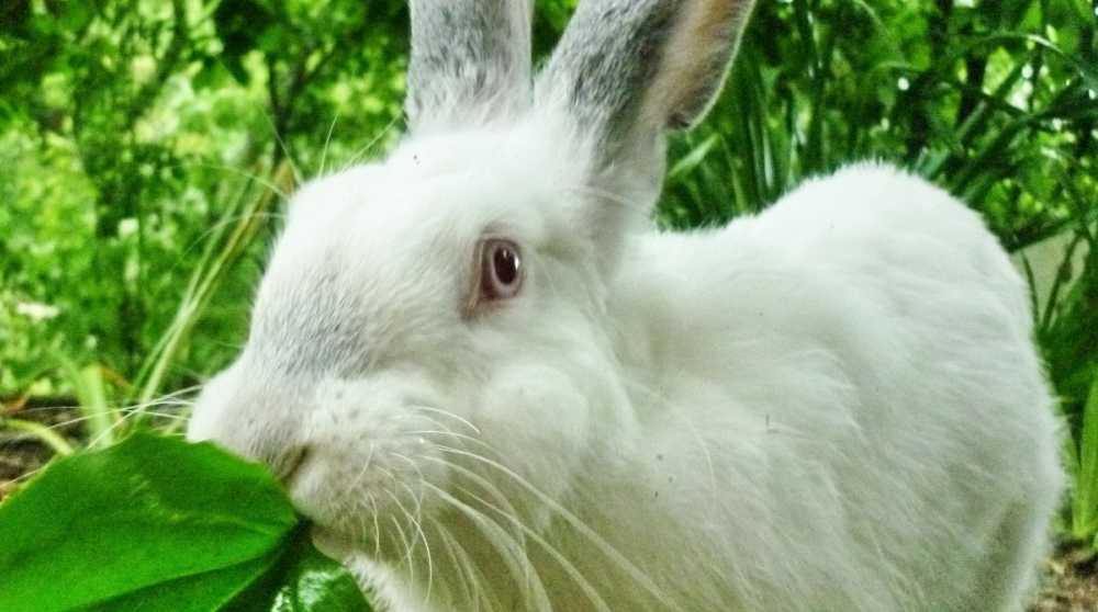 Какую траву можно и нельзя давать кроликам: фото и названия