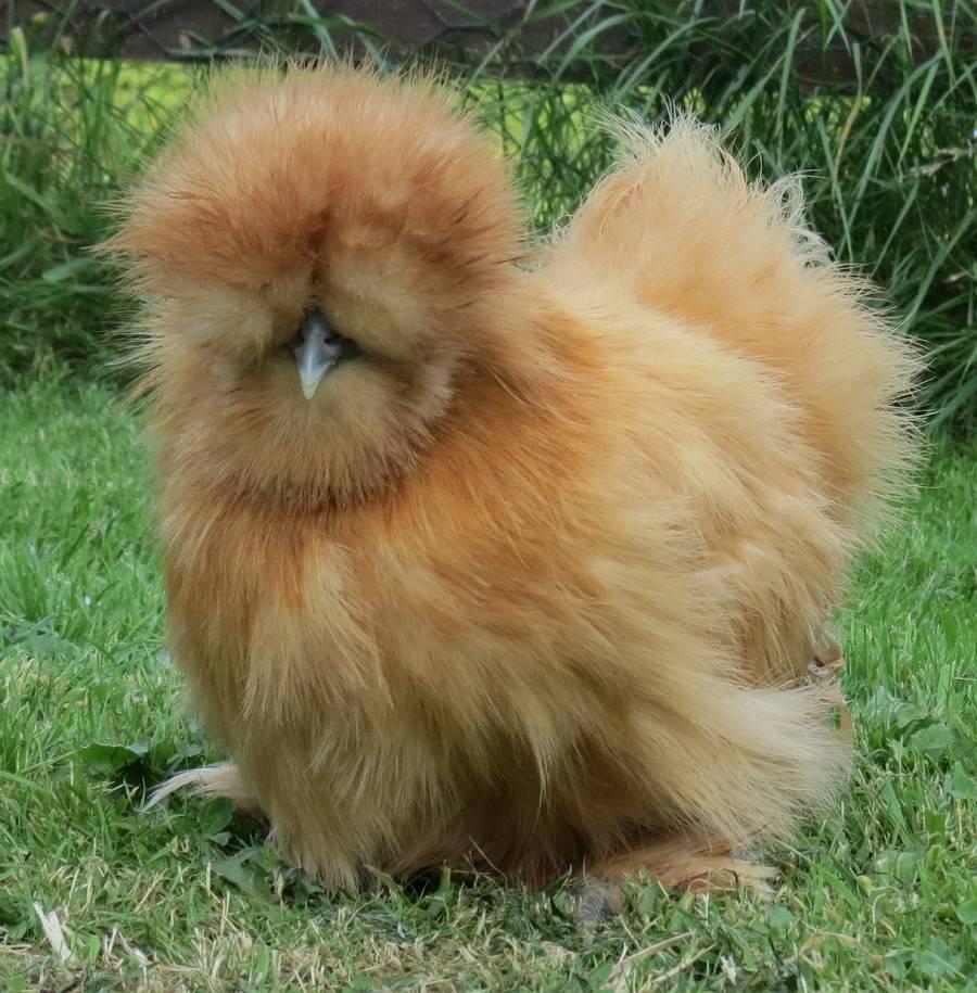 Китайская шелковая курица: описание породы, фото, содержание и уход