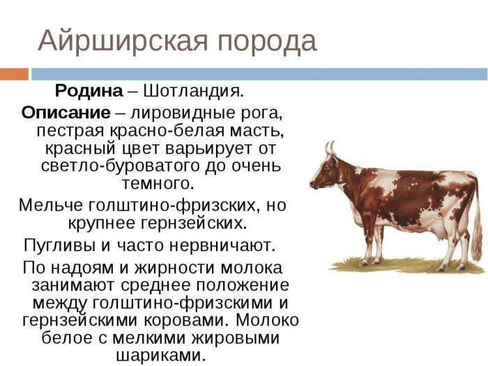 Айрширская корова: характеристика породы и особенности разведения — cельхозпортал