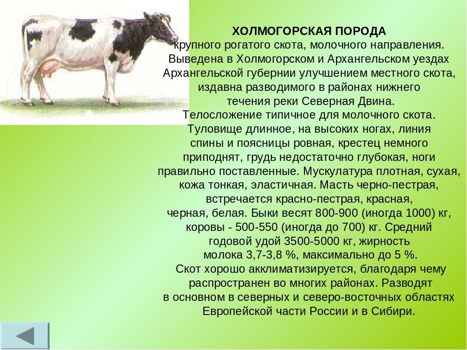 """Удачный выбор для частного или фермерского хозяйства - коровы """"симментальской"""" породы"""
