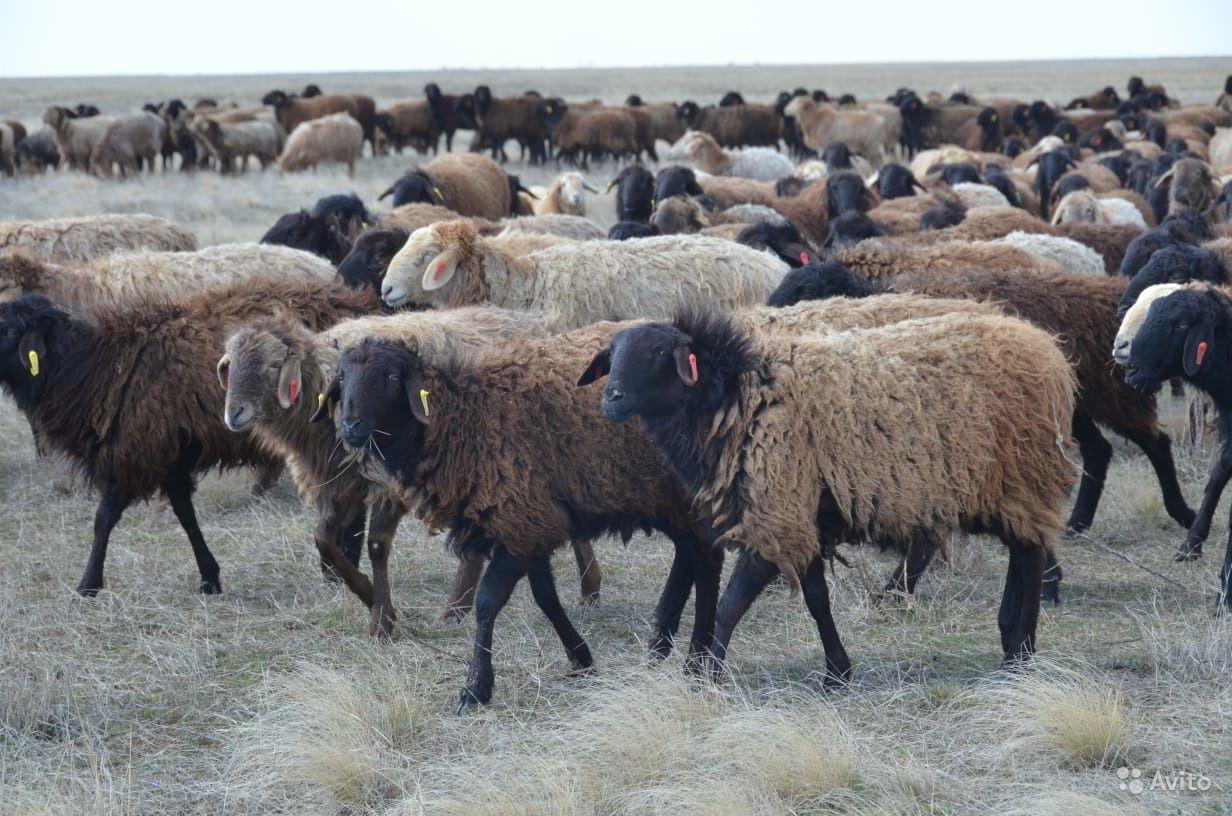 Эдильбаевская порода овец: возникновение, характеристики, особенности разведения