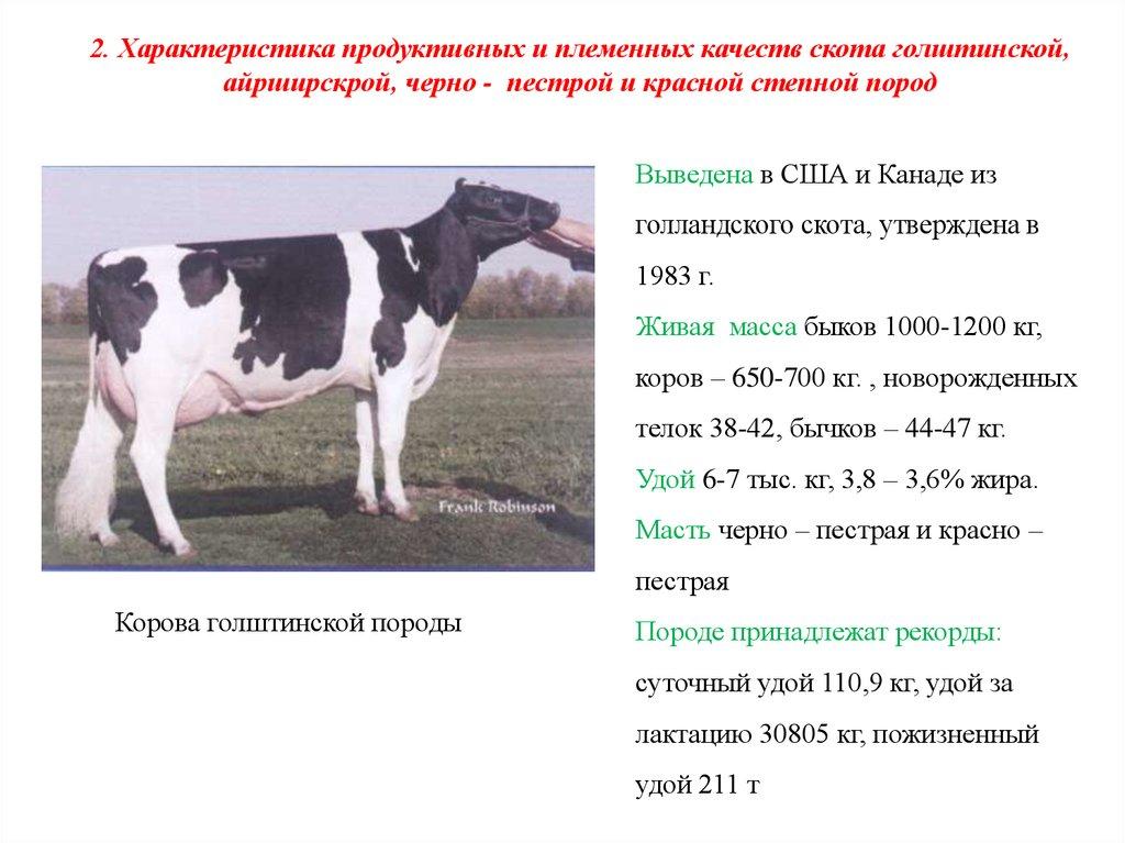 Черно-пестрая порода коров: характеристики и фото породы