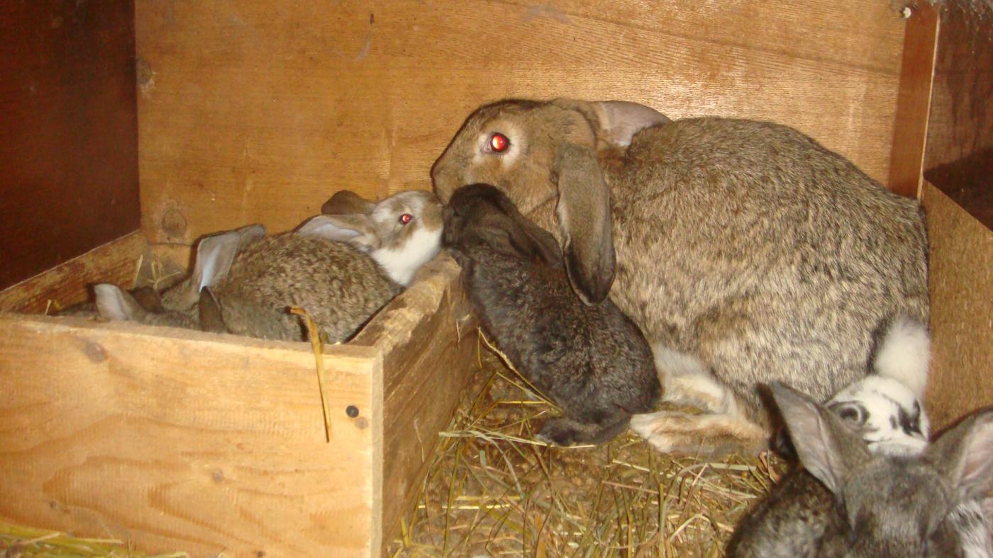 Когда можно отсаживать крольчат от крольчихи и чем кормить?