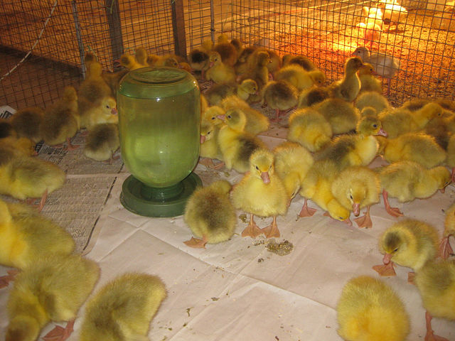 Как разводить гусей в домашних условиях: уход и кормление