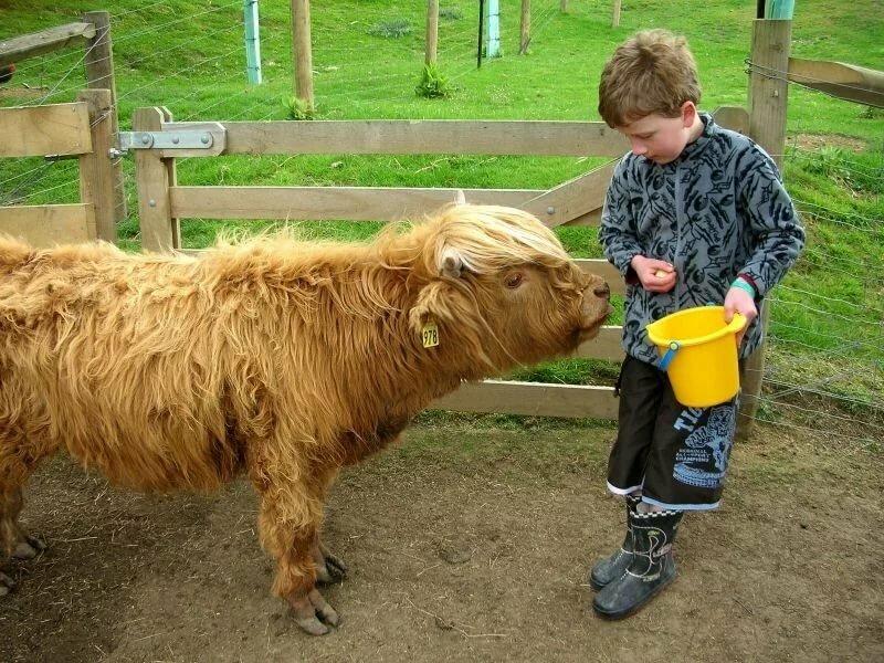 Мини-коровы (28 фото): описание карликовых пород. как называется порода самых маленьких быков и коров?