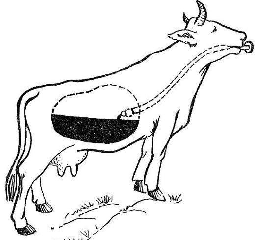 Тимпания рубца у коров: как правильно лечить вздутие живота