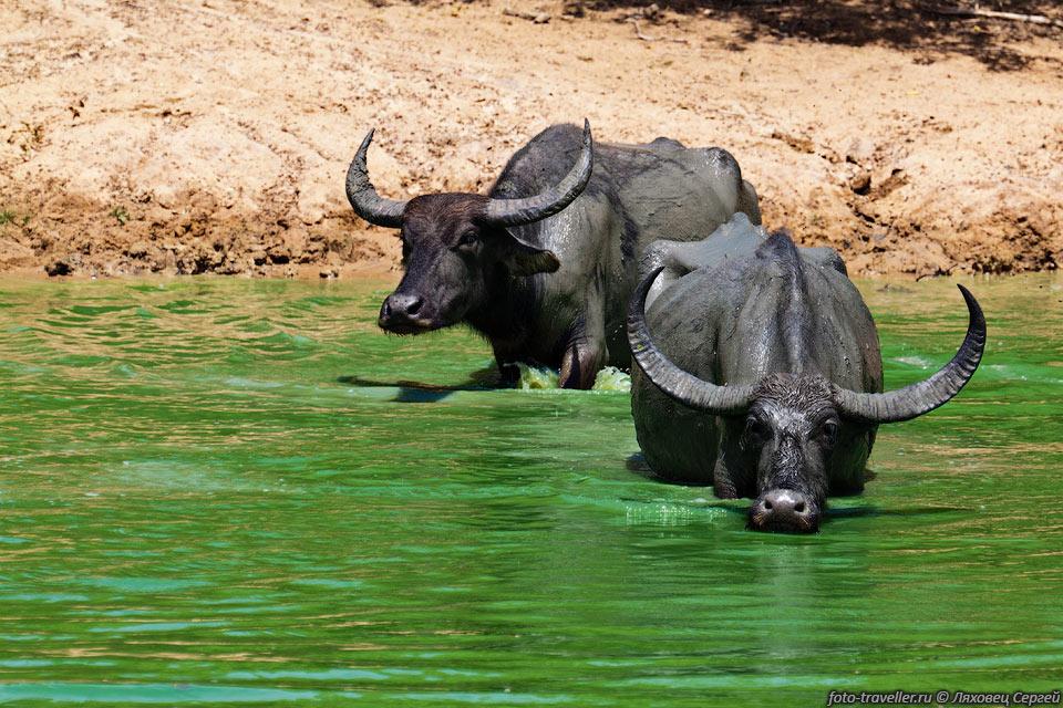 Индийский водяной буйвол, или азиатский буйвол | мир животных и растений