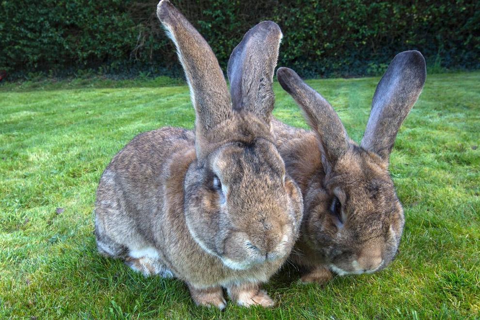 Самый большой кролик в мире: уход и содержание, основные породы